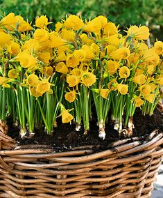 Daffodil 'Petticoat'