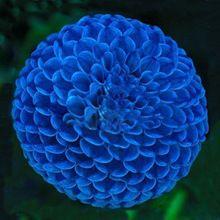 Venta caliente Azul Único Bola de Fuego Hermosas Semillas de Flores Planta Perenne Semillas de Dalia Dalia-100 UNIDS(China (Mainland))