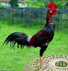 Ayam Juara: Cara Memilih Ayam Bangkok Berdasarkan Kwalitas Puk...