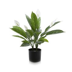 Spathe Potted Plant