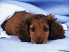 Miniature Longhair Doxie