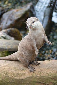 Otter tongue!