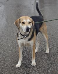 Callaghan has been Rescued/Adopted! 174 Callaghan - URGENT! is an adoptable Treeing Walker Coonhound Dog in Youngstown, OH. Callaghan is still at the pound waiting to find his forever home. (updated 3/20/2012) This wonderful dog came in...