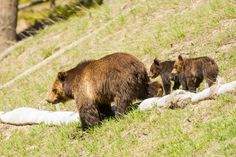 ChicagoBob46 posted a photo:  Grizzly Bear sow with her two COY, 'Cubs Of the Year', making there way down slope towards the road.