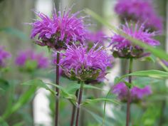 Bee Balm: deliciousness for the bees! Growing Flowers, Love Flowers, Flower Gardening, Planting Flowers, Herb Garden, Garden Plants, Hummingbird Flowers, All Plants, Hummingbirds