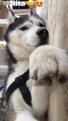 Husky, Lady, Girl ,Dog