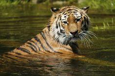 Sibirischer Tiger, Wasser, Baden, Raubkatze, Tiger