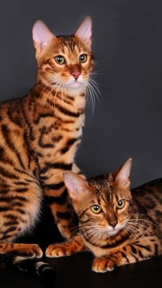 Bengal cats - Domestic cat