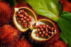 Natureza, Perfeição sem tamanho...: Urucum (Colorau) Urucu, ou urucum, é o fruto do ur...