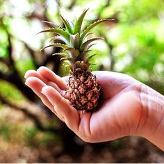 This is how they grow... a perfect little baby pineapple which then grows into a large pineapple