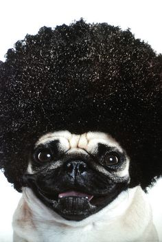 Afro Pug  @Alison Smith  BEST EVER!
