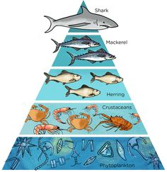 food pyramid, use to show bioaccumulation. more and less.