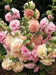"Double Hollyhock, ""Apricot-Peach Parfait"" by renees garden – Alcea rosea, stokroos"