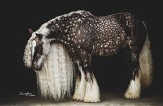 Rosie's Vogue - Gypsy Vanner - Pferde - Animals Most Beautiful Horses, All The Pretty Horses, Beautiful Beautiful, Beautiful Pictures, Majestic Horse, Majestic Animals, Cute Horses, Horse Love, Baby Horses