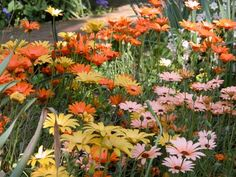 Africa daisy grows to about a foot high, with coarse aromatic leaves, topped in summer by large daisies in shades of yellow, orange, salmon or white with a brown centre.