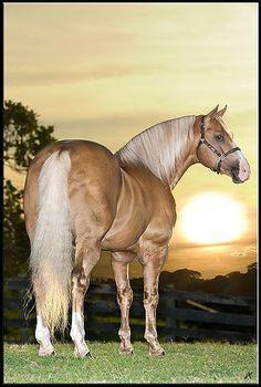 cavalo quarto de milha baio amarilho -