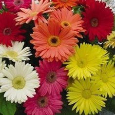 Outsidepride Gerbera Mix - 100 Seeds by Outsidepride: Flower Seed. $4.99. Bloom Color: Mix. USDA Zones: 8 - 10. Season: Perennial. Height: 10 - 14 inches. Sowing Rate: 2 - 3 seeds per plant. Gerbera jamesonii hybrids are one of the loveliest annuals that can be grown from seed and are known commonly called Gerbera Daisies. This mix has shades of pink, rose and watermelon-red. The daisy-like blooms are 3 - 4 inches across and are on thick stems making them great for cutting. The f...