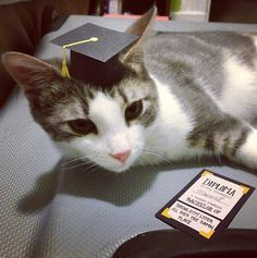 Tiny mortarboard on a cat
