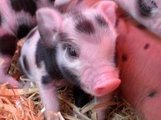 Why would anyone want a pig you ask? Uhh does this answer your question?
