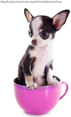 If you've just brought home a cute boy Chi then you'll no doubt be looking for cute male Chihuahua names. Cute Chihuahua, Teacup Chihuahua, Chihuahua Puppies, Chihuahuas, Teacup Puppies, Beagles, Best Dog Breeds, Small Dog Breeds, Gatos