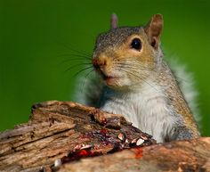 """Probably one of the favorite images among the youngsters reading my book """"The Year Santa Came Back,"""" a story about a young lady who loved the outdoors. Moral of this image is: Don't leave candy out when mischievous squirrels are about. #photooftheday #wildlife  #photographs #wildlifephoto #squirrels #childrensbooks #outdoor #camping #TheYearSantaCameBack"""