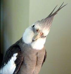 white faced Cockatiel, Parcs, Funny, Humor, Bird, Cute, Animals, Breathe, Dog