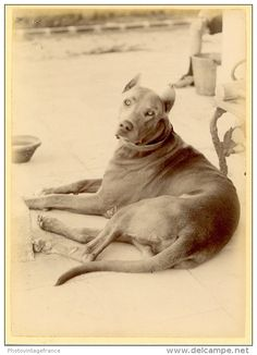 Beautiful antique photograph, handsome dog.