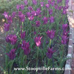 Stoopville Farms