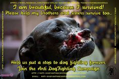 Please Support The Anti-DogFighting Campaign, And Help us Put An End To Dogfighting Worldwide. Be The Voice For The Victims. Like Us & Share.  https://www.facebook.com/AntiDogFightingCampaign