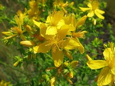 Az orbáncfű gyógynövény jótékony hatásai Herbalism, Plants, Diy, Herbal Medicine, Bricolage, Do It Yourself, Plant, Homemade, Diys