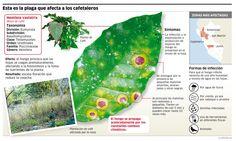 #Infografia del Roya de Café