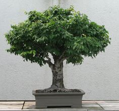 A Japanese Zelkova (Zelkova serrata) bonsai on display at the National Bonsai & Penjing Museum at the United States National Arboretum. According to the tree's display placard, it has been in training since 1895. It was donated by Yoshibumi Itoigawa.