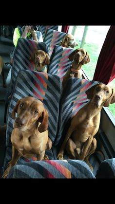 Are we there yet?........ Vizslas