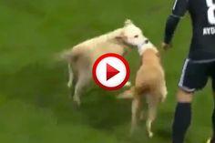 Two dogs interrupt soccer game  Video  #videos, #videobox, #pinsland, #dogs, #soccer, #funny, https://apps.facebook.com/yangutu