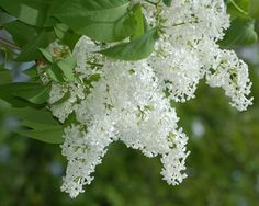 Pictures of White Flowers: White Flowers, Sweet Aroma  I simply love white Lilacs!