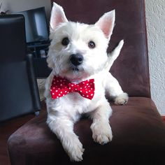 """35 Likes, 6 Comments - Faya the Westie (@faya_the_westie) on Instagram: """"So happy with my beautiful bow tie that I got from my sweet friends Moxie, Maddie and Pookey…"""""""