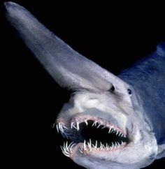 Mitsukurina owstoni (Goblin Shark) found at continental shelf levels 330' to deep sea depths 4300' the shelf is where most deep sea commercial fishing is done. Scientific Name: Mitsukurina owstoni Rank: Species Higher classification: Mitsukurina
