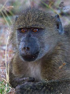 Hallo by Ursula Celliers - Wildlife Photography on YouPic Ape Monkey, Baboon, Primates, Ursula, Wildlife Photography, Animals, Animales, Primate, Animaux