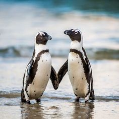 "5,383 Likes, 69 Comments - @oceana on Instagram: ""Love birds take note. #Penguins know how to keep the romance alive. During courtship, a male…"""