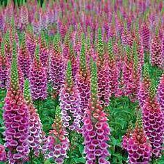 Digitalis x purpurea 'Candy Mountain'