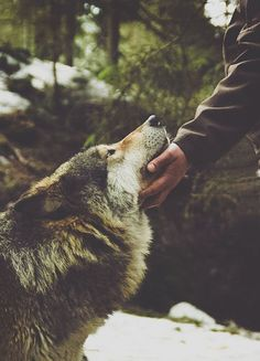 have you pet a wolf lately? SOOOO want a wolf-dog Beautiful Creatures, Animals Beautiful, Animals And Pets, Cute Animals, Wild Animals, Wolf Love, Bad Wolf, Beautiful Wolves, Mundo Animal
