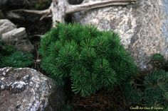Pinus mugo 'Teenie' is a miniature Mugo Pine perfect for a rock garden or small space.  Needs sun & good drainage
