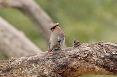 a japanese waxwing in tokyo, japan