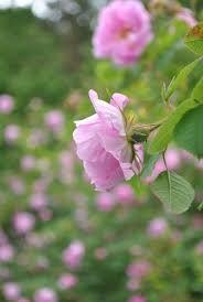 hurdalsrosen - Google-søk Roses, Google, Plants, Flowers, Eggs, Pink, Rose, Plant, Planets