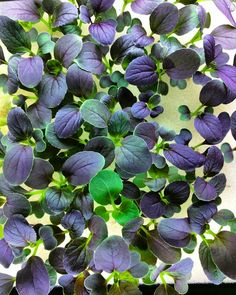 """Just look at the colors on this purple mizuna hybrid.  Gorgeous!  Remember 10% off with """"FIRST10"""" until December 31st!  #hydroponics #maximumyield #rockwool #growyouown #indoorgarden #vegetables #indoorgardening #growveggies #seedlings #sprouts #veggies #aquaponics #nft #aeroponics #hydro #agtech #greenhouse #urbanfarming #urbanfarm #urbangarden #indoorfarm #germination #hydroton #ebbandflow #floodanddrain #sustainable #vegbed by vegbed"""