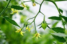 Как правильно применять борную кислоту – с умом большой помощник огороду! Small Farm, Vegetables, Plants, Gardening, Tomatoes, Lawn And Garden, Vegetable Recipes, Plant, Veggies