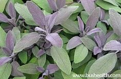 Don't You Know Sage herb ?! Here Its Benefits!