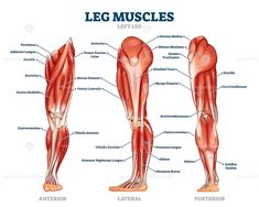 Leg muscle anatomical structure, labeled front, side and back view diagrams - Buy this stock vector and explore similar vectors at Adobe Stock Leg Muscles Names, Leg Muscles Anatomy, Human Muscle Anatomy, Front Leg Muscle, Muscle Names, Peroneus Longus, Knee Pain Exercises, Skeleton Anatomy, Flexibility Training