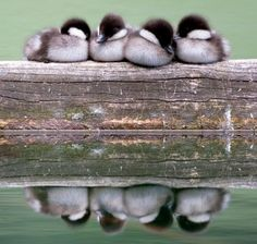 Reflection in water, duck, Animal photography, ducklings nestled on a beam Pretty Birds, Love Birds, Beautiful Birds, Animals Beautiful, Wow Photo, Photo Animaliere, Cute Creatures, Beautiful Creatures, Cute Ducklings
