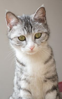 American Shorthair by Haines Zhang on 500px